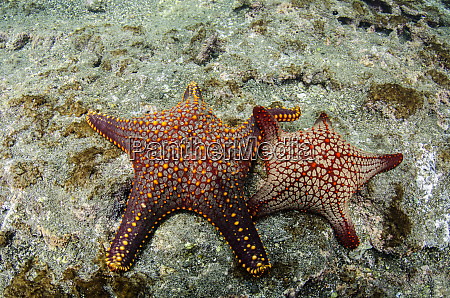 panamic cushion star pentaceraster cummingi galapagos