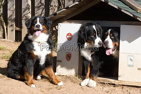three bernese mountain dogs