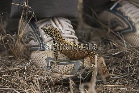 lava lizard microlophus delanonis on tourist