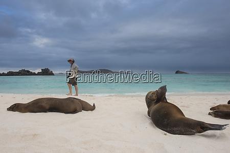 galapagos sea lion zalophus wollebaeki and