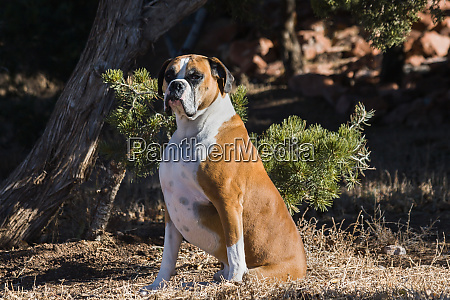 boxer sitting in dried grasses