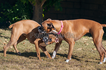 boxers playing mr