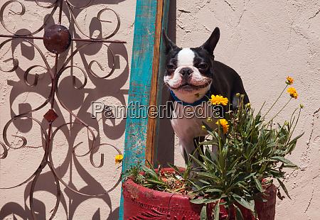 boston terrier in garden flower pot