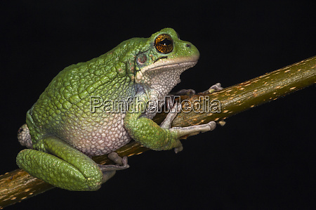 san lucas marsupial frog gastrotheca pseustes