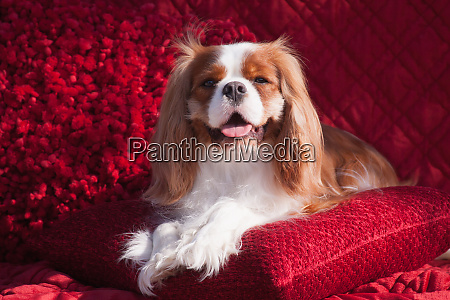 cavalier lying on red pillow mr