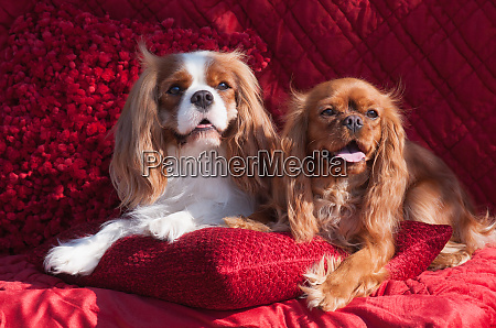 cavaliers lying on red pillow mr