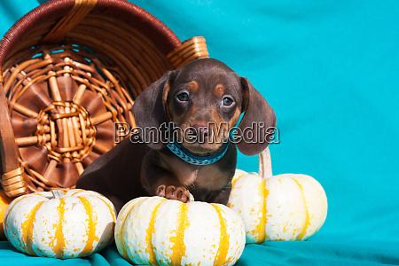 doxen puppy posing