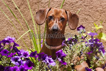 doxen in flower pot