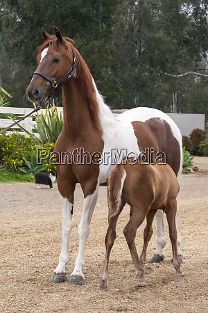 horse with colt nursing