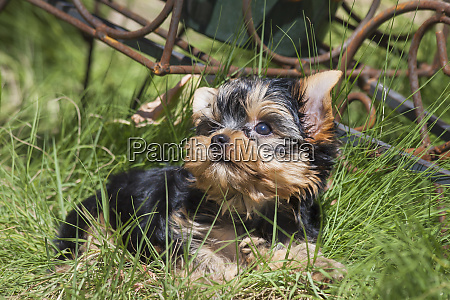 yorkshire terrier puppy laying in grass