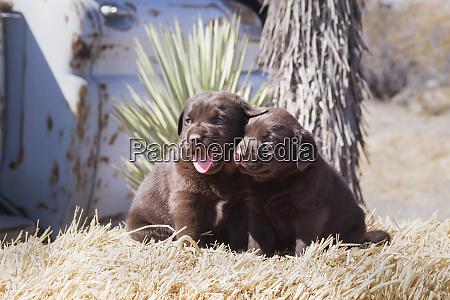 two chocolate labrador retriever puppies sitting