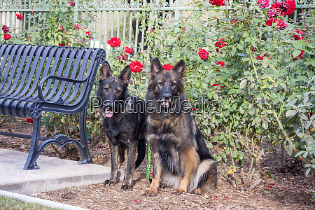 german shepherds pr