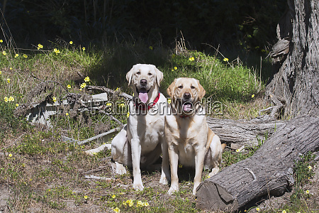 two yellow labradors sitting waiting with