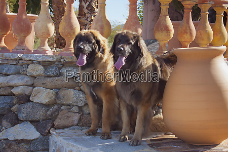 two leonbergers standing watch pr