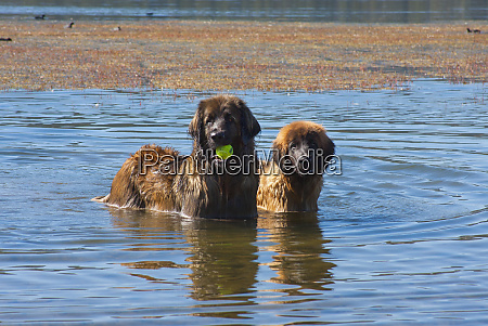 two leonbergers standing in the lake