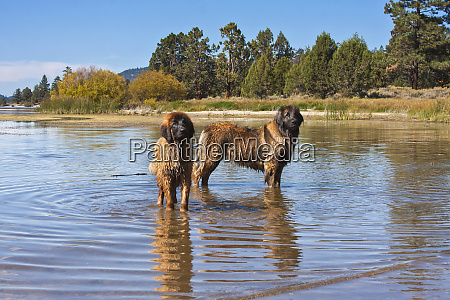 two leonbergers standing in reflective lake