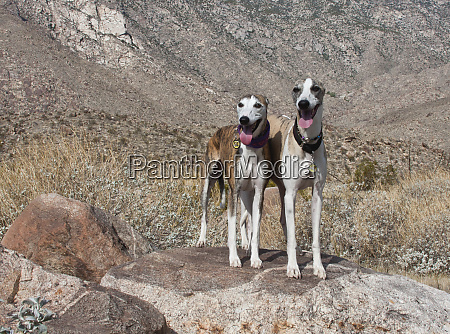 two whippets standing in the colorado