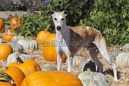 whippet standing in a pumpkin patch