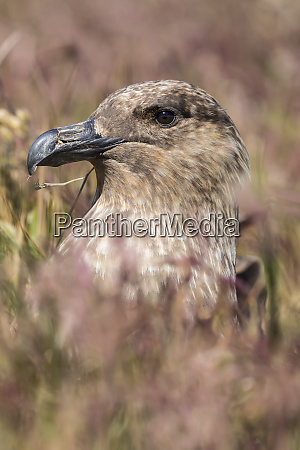 falkland or brown skua or subantarctic