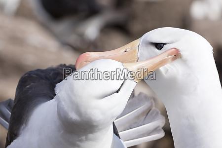 black browed albatross thalassarche melanophris or