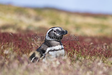 magellanic penguin spheniscus magellanicus portrait at