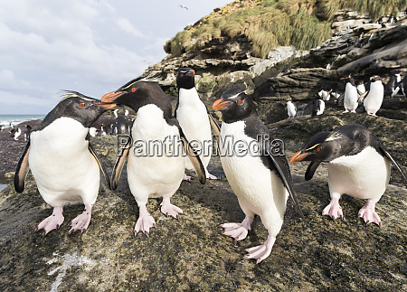 rockhopper penguin eudyptes chrysocome penguins on