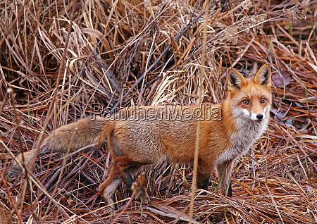 red fox vulpes vulpes in reeds
