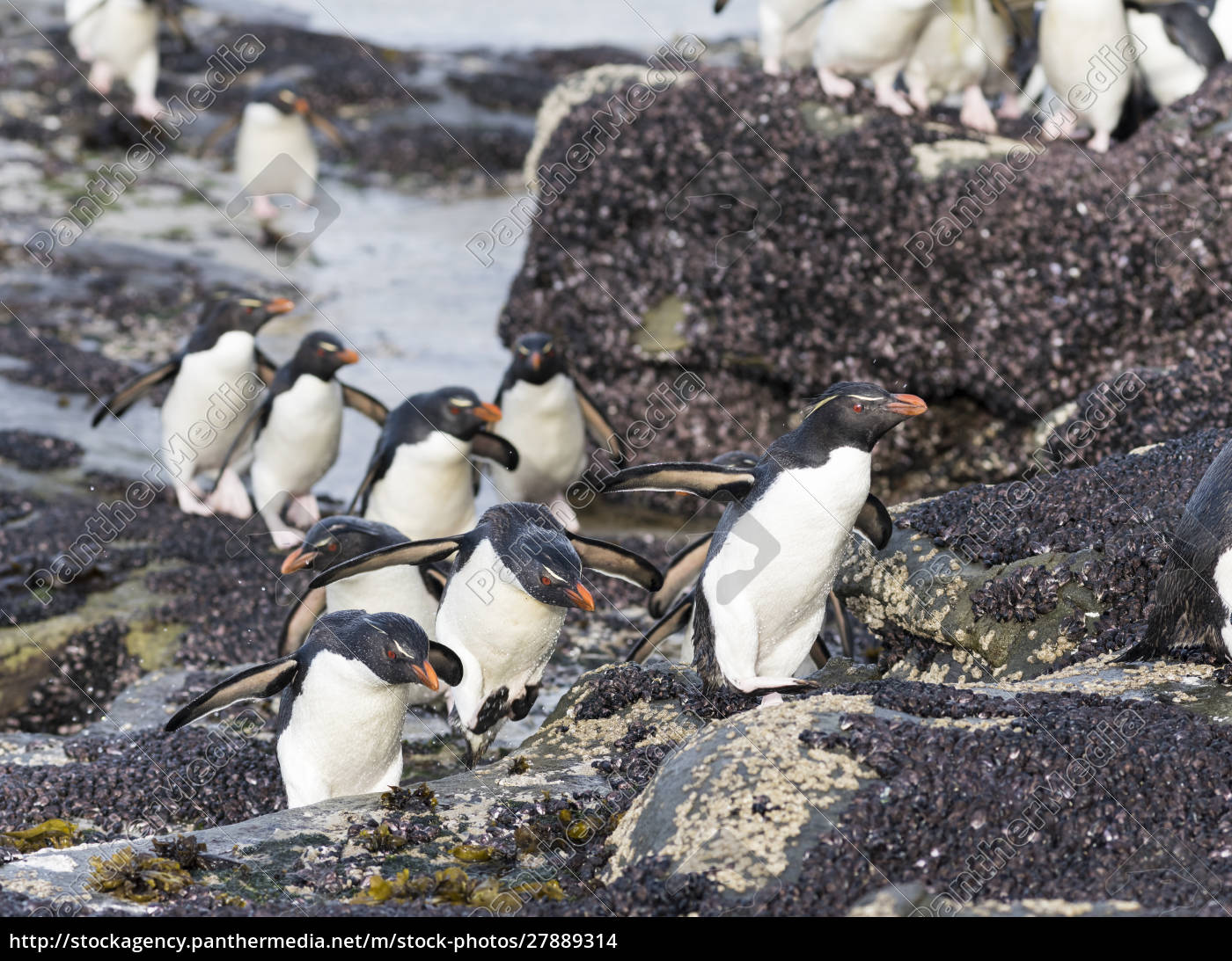 rockhopper, penguin, (eudyptes, chrysocome), penguins, on - 27889314