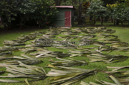 drying pandanus palm to make mats