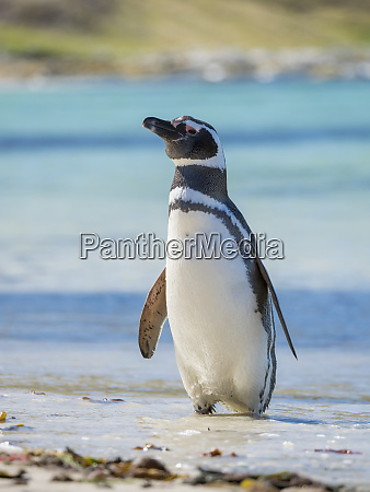 magellanic penguin spheniscus magellanicus at beach