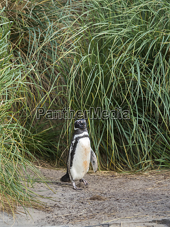 magellanic penguin breeding area in the