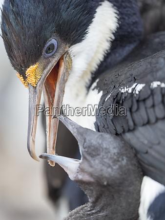 imperial shag feeding chicks falkland islands