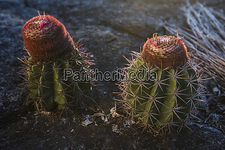 popes nose cactus savanna rupununi guyana