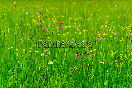 wildflower maedow in the bavarian forest