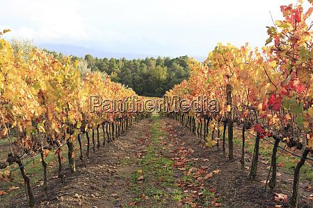 italy tuscany grape vines with autumn