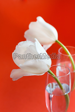 white tulips on a red background