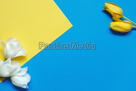 white and yellow tulips on a
