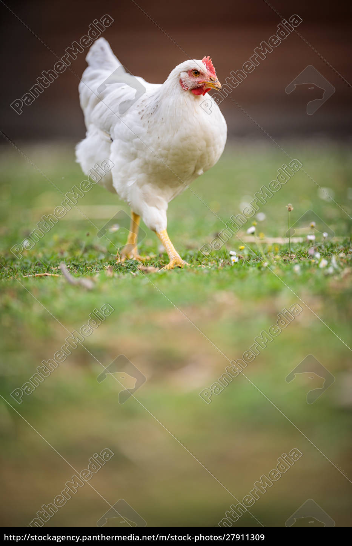 hen, in, a, farmyard, (gallus, gallus - 27911309