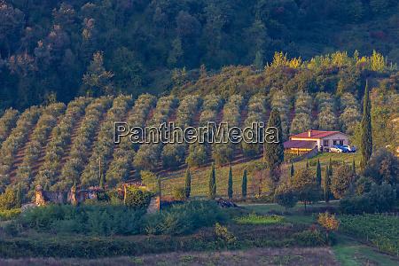 olive grove tuscany italy