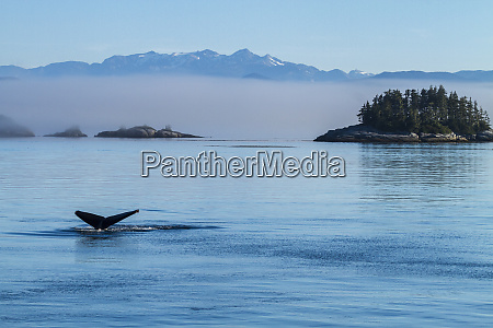 canada british columbia humpback whales tale
