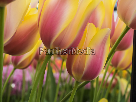 netherland lisse close up image of