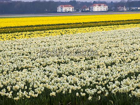 netherlands spring flower fields