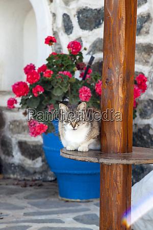 greece santorini cat resting in a