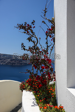 oia santorini greece red bougainvillea tree