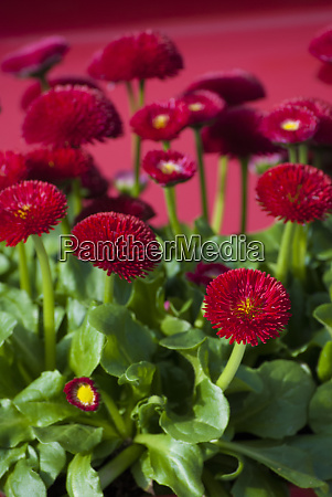fancy red english daisies