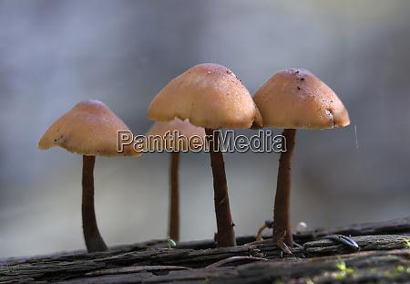 canada british columbia vancouver mycena mushrooms
