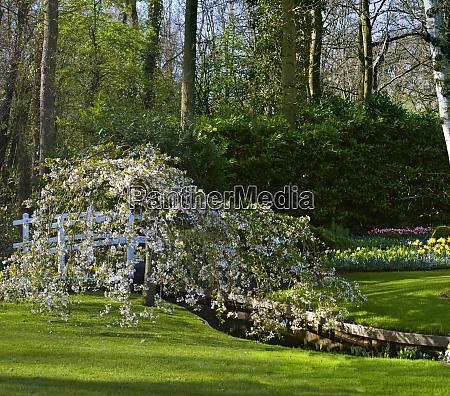 blooming weeping cherry tree