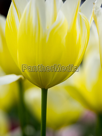 netherlands lisse keukenhof gardens tulip close