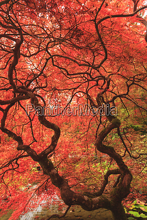 japanese maples in the fall british