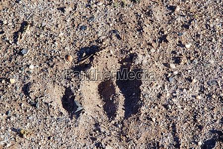 vicuna footprint in the puna de